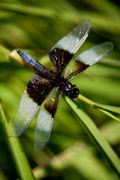 Dragonfly-3787